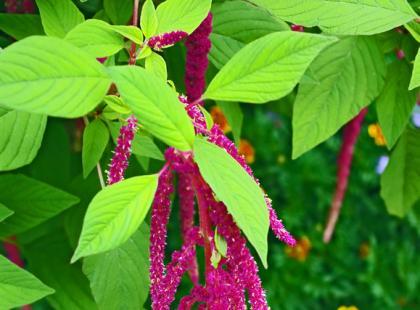 Amarantus - zdrowie w liściach i nasionach