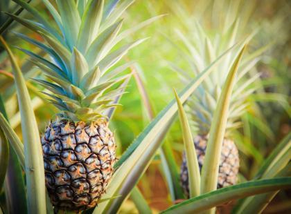 Ananasy z... twojego parapetu. Na pewno urosną!