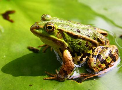 Antybiotyki ze skóry żab