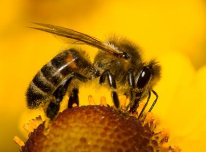 Apitoksynoterapia - leczenie jadem pszczelim