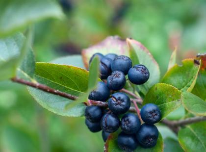 Aronia - mały owoc o wielkiej mocy
