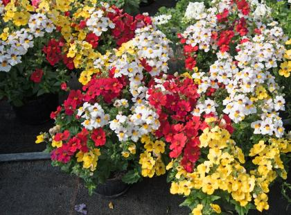 Rośliny I Kwiaty Na Balkon Południowy Wschodni Zachodni