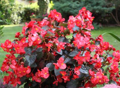 Begonia stale kwitnąca jest niezawodna. Sprawdź jak długo kwitnie