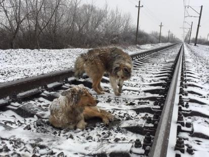 Bezdomny pies przez dwa dni chronił własnym ciałem leżącą na torach ranną towarzyszkę. Co za historia!
