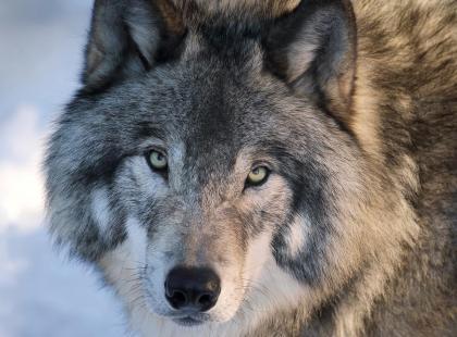 Bieg Śnieżnej Pantery już w ten weekend. Tym razem biegniemy dla wilka!