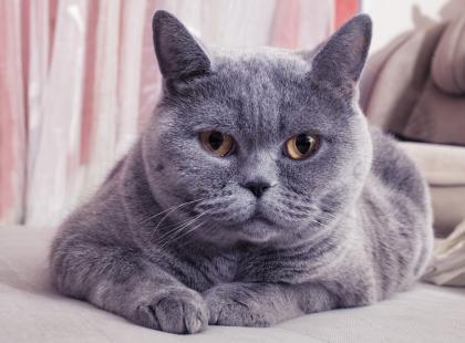 Brytyjczyk - kot, który się uśmiecha