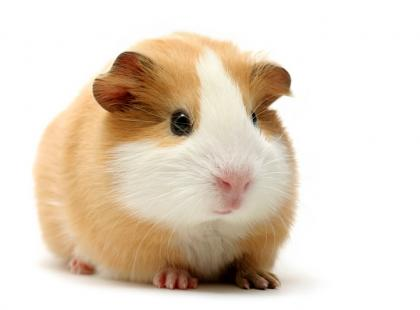 Cavioterapia – świnki morskie w terapii