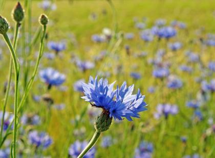 Chaber bławatek jako roślina lecznicza
