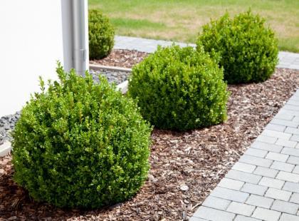 Chcesz mieć bukszpan w ogrodzie? Zobacz, jak o niego dbać!