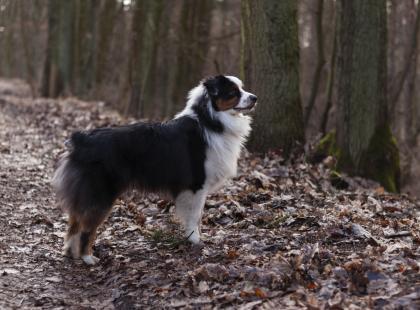 Chcesz mieć posłusznego psa? Wybierz owczarka australijskiego