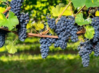 Chcesz mieć winorośl w ogrodzie - sama zrób sadzonki