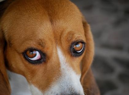 Oko to bardzo delikatny narząd, jeśli zauważymy coś niepokojącego u naszego psa powinniśmy jak najszybciej udać się z nim do lekarza.