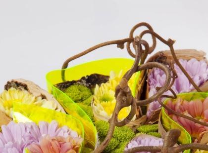 Chryzantema pachnąca wiosną