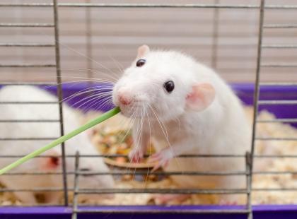 Co może jeść szczur domowy, czyli o żywieniu szczurów słów kilka!
