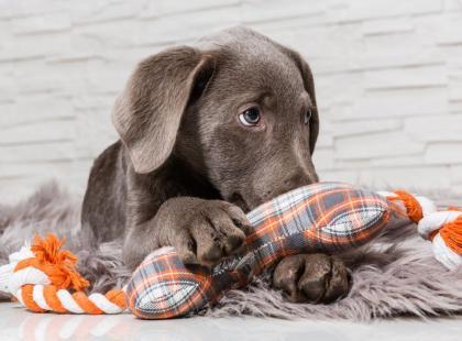 Co robić, gdy psa boli ucho?