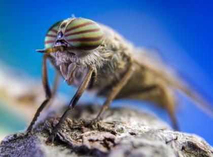 Co robić, gdy ugryzie nas końska mucha, czyli giez?