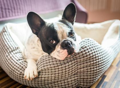 Co robić, jeśli pies wymiotuje?