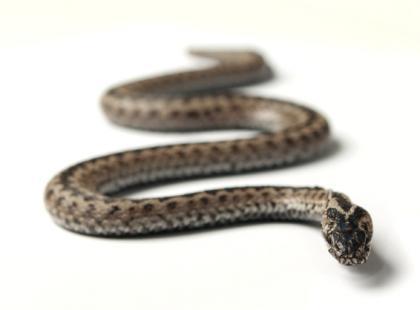 Co robić w przypadku ukąszenia przez jadowitego węża?