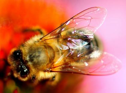 Jak pszczoły zapylają kwiaty?