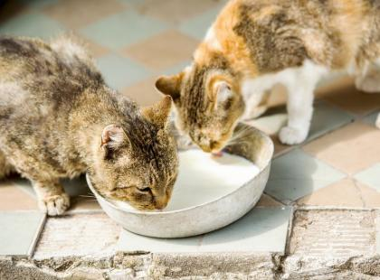 Czy kotu wolno pić mleko?