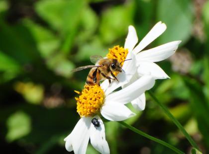 Czy pszczoły wyginą?