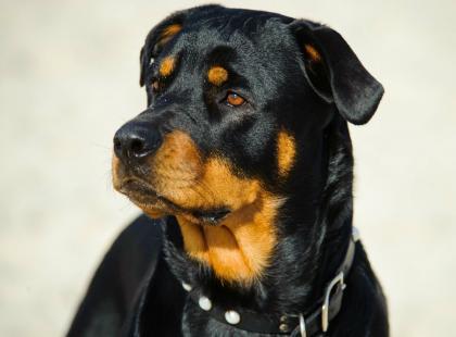 Czy rottweiler to faktycznie pies morderca? Poznaj najważniejsze fakty o tej rasie!
