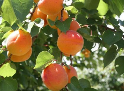 Czy wiesz jak zrobić brzoskwinie w sosie z wina?