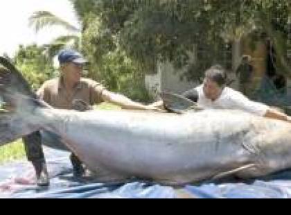 Czy wiesz, że 2,5 metra długości mierzy największa słodkowodna ryba?