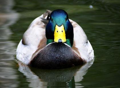 Czy wiesz, że głos kaczki jednak odbija się echem?