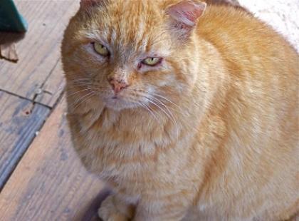 Czy wiesz, że istnieje 77 ras kotów?