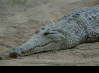 Czy wiesz, że krokodyle słodkowodne mogą żyć nawet 130 lat?