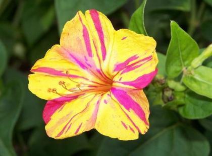 Czy wiesz, że kwiat Mirabilis Jalapa świeci w ciemności?