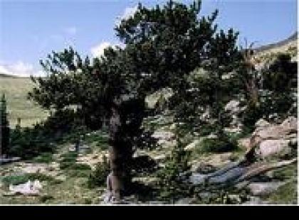 Czy wiesz, że najdłużej żyjące drzewa na świecie to sosny ościste?
