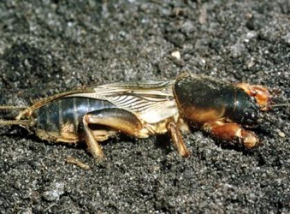 Czy wiesz, że najgłośniejsze owady można usłyszeć z odległości 1,5 km?