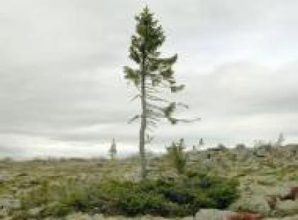 Czy wiesz, że najstarsze drzewo na świecie ma 9550 lat?