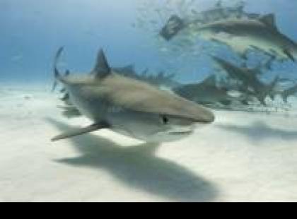 Czy wiesz, że rekiny tak naprawdę nie mają zębów?