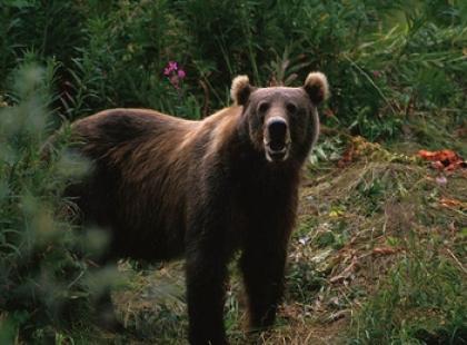 Czy wiesz, że Rumunia ma największą populację niedźwiedzi w Europie?