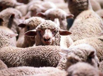 Czy wiesz, że w Australii żyje 6-krotnie więcej owiec niż ludzi?