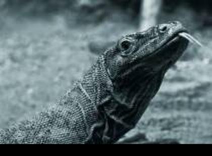 Czy wiesz, że waran z Komodo zabija ugryzieniem chociaż nie ma jadu?