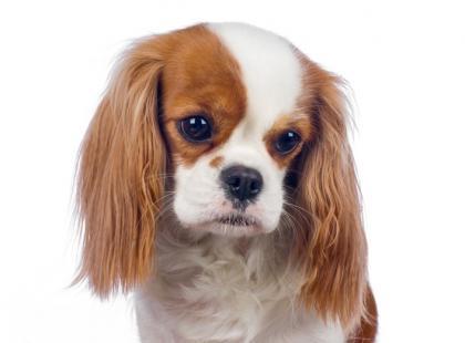 Zazwyczaj pies wyje pod nieobecność właściciela z tęsknoty, nudów lub lęku.