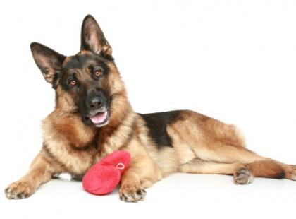 Długotrwałe biegunki u psa oznaką niewydolności trzustki