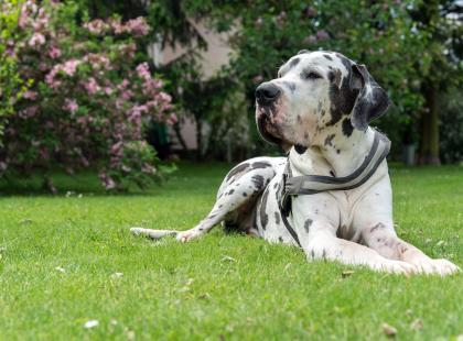 Dog niemiecki - pies nie dla każdego