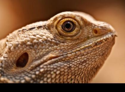 Domowe jaszczurki – czym charakteryzują się gekony?
