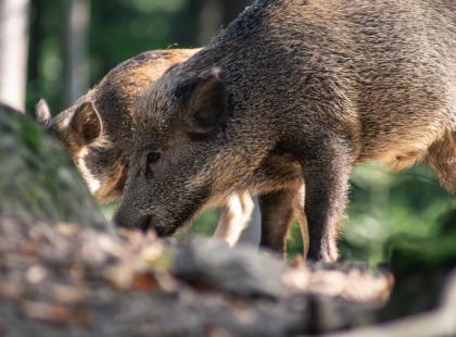 Drastycznie nagranie z polowania na dziki. Podpisz petycję i ocal życie tych zwierząt!