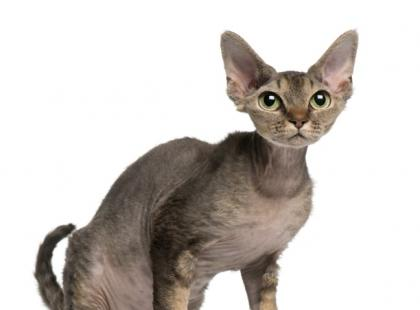Dziwne rasy kotów