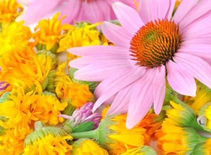 Echinacea - panaceum na odporność?