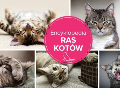 Encyklopedia ras kotów - jaki pupil będzie twoim najlepszym towarzyszem?