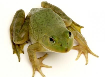 Figurka trójnożnej żaby - jak zapewnić sobie sukces?
