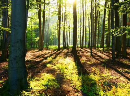 Firmy rezygnują z kupowania drewna pochodzącego z Puszczy Białowieskiej. Która zrobiła to jako pierwsza?