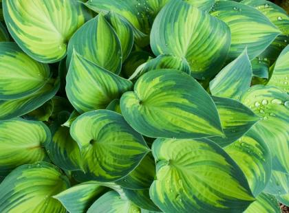 Funkia - najpiękniejsze liście w ogrodzie